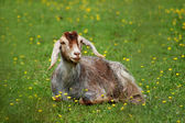 Goat in green medow — Stock Photo
