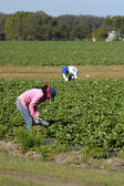 Strawberry pickers — Stock Photo