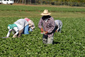 Strawberry picker workers — Stock Photo