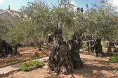 Jerusalem-Garden of Gethsemane — Stock Photo
