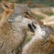 Two wolves playing — Stock Photo