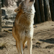 Stock Photo: Gray wolf howling