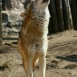 Gray wolf howling — Stock Photo