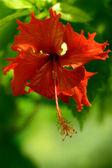Flower hibiscus — Stock Photo
