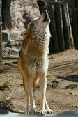 Gray wolf howling — Fotografia Stock