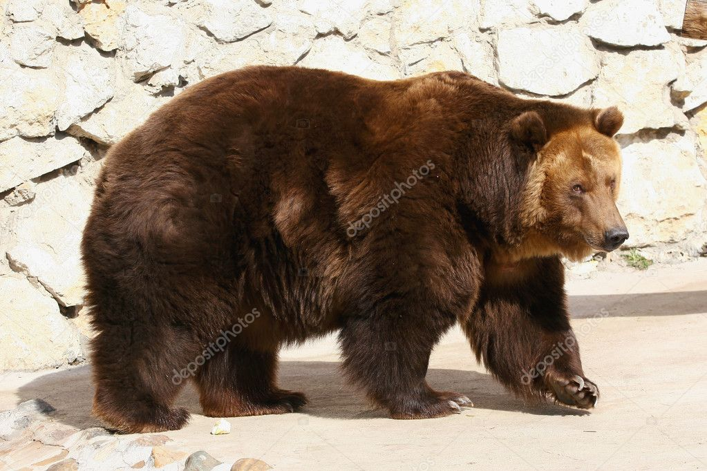 Brown bear at a zoo. Close up — Stock Photo #2126417