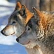 Stock Photo: Grey wolves (canis lupus)