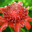 Tropical flower Torch Ginger — Stock Photo