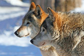 Grey wolves (canis lupus) — 图库照片