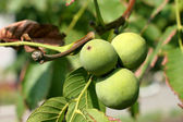 Green walnut — Foto de Stock