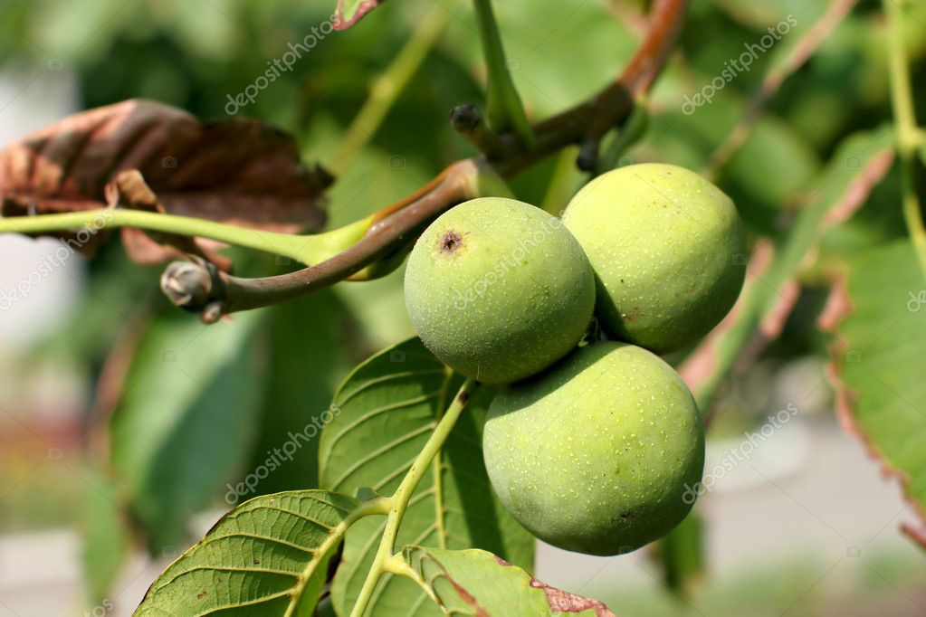 Three green nuts from a walnut tree. — Stock Photo #2244833