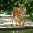 Sumatran tiger — Stock Photo #2283371