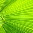 Stock Photo: Palm leaf. Close up