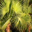 Stock Photo: Green fan fern palm leaves