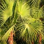 Green fan fern palm leaves — Stock Photo