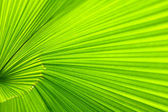 Palm leaf. Close up — Stock Photo