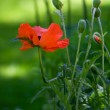 Red poppy with buds on green background — Stock Photo #2291222
