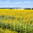 Sunflower field — Stock Photo #2309994