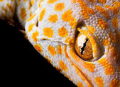 The Tokay Gecko — Stock Photo