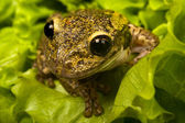Brazilian tiee-frog — Stock Photo
