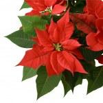 Red Poinsettia — Stock Photo #2116121
