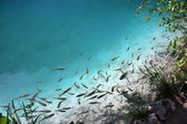 Plenty of fishes in clear water — Stock Photo