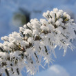 Hoarfrost on branch — Stock Photo