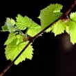 Spring twig vine — Stock Photo