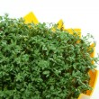 Stock Photo: Cress