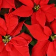 Red Poinsettia - Stock Photo