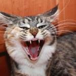 Yawning cat — Stock Photo #2246547