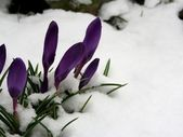 Crocuses in winter — Stock Photo