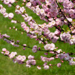 Prunus triloba - flowering almond — Stock Photo