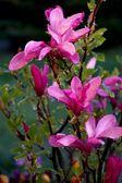 Flowering magnolia in the rain drops — Stock Photo