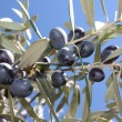 Olive tree branch — Stock Photo #2123716