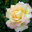 Rose with Dew — Stock Photo #2124905