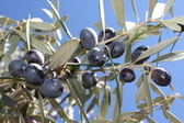 Olive tree branch — Stock Photo