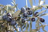 Olive tree branch — Stock Photo