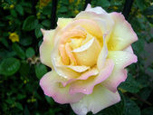 Rose with Dew — Stock Photo