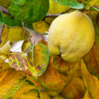 Yellow quince in autumn — Stock Photo