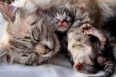 Katt och hennes kattunge — Stockfoto