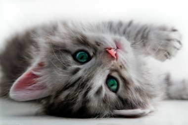 Kitten lays - isolated