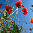 Stock Photo: Poppies - back view - backlight