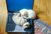 The kittens on a laptop computer — Stock Photo
