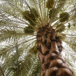 Dates palm tree — Stock Photo