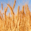 Wheat field - closeup — Stock Photo