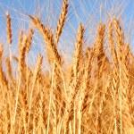 Wheat field - closeup — Stock Photo
