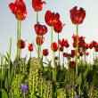 Red bright tulips in spring time — Stock fotografie