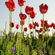 Red bright tulips in spring time — Stok fotoğraf