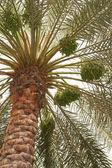 Dates palm tree — Stock Photo